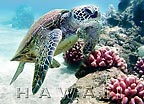Hawaiian Turtle - Bebe - MAGNETS - A Little 'Spirit of Aloha' for your home - Hawaiian magnets -